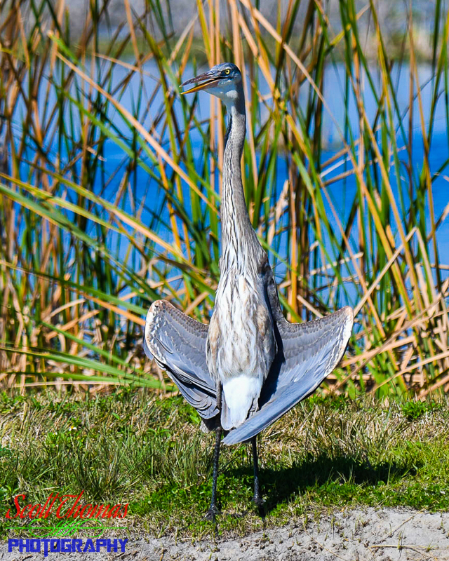 Great Blue Heron Cooling Off