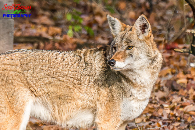 Eastern Coyote at The Wolf Mountain Nature Center